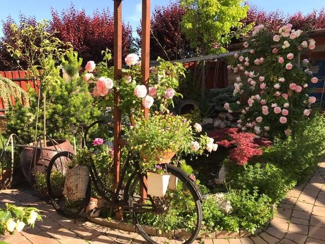 Vườn hoa hồng được chị Thảo bỏ công sức chăm sóc suốt 22 năm qua