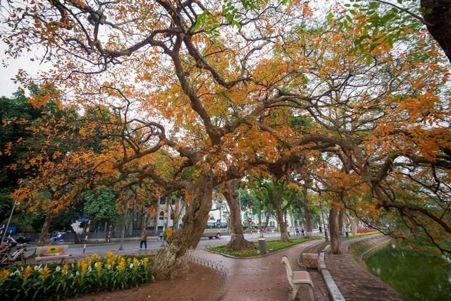 """Cây lộc vừng cổ thụ bên Hồ Gươm như """"khoác"""" một màu áo mới. Khung cảnh đẹp lạ thường này khiến cho nhiều người ví von thời khắc này chính là """"mùa thu thứ 2"""" ở Hà Nội."""