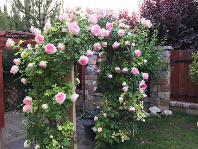 Hầu như tất cả các thời điểm trong năm khu vườn nhà chị Thảo đều bung nở rực rỡ
