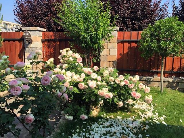 Tất cả không gian trongkhu vườn đều tràn ngập hoa hồng