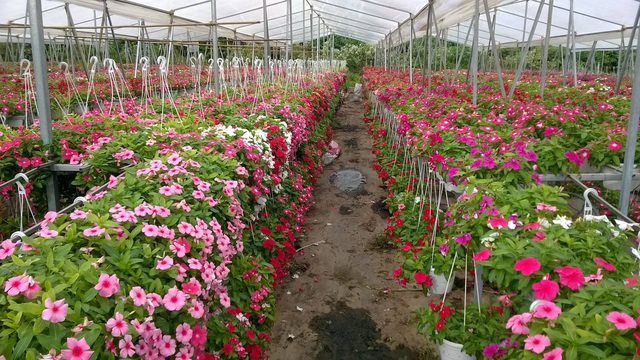 Một góc trang trại hoa treo của ông chủ trẻ 8x rực rỡ sắc màu