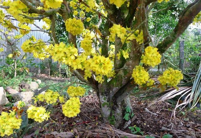 """Trầm trồ trước """"lão mai"""" gần 100 tuổi… cuồn cuộn nở hoa từ thân - 2"""
