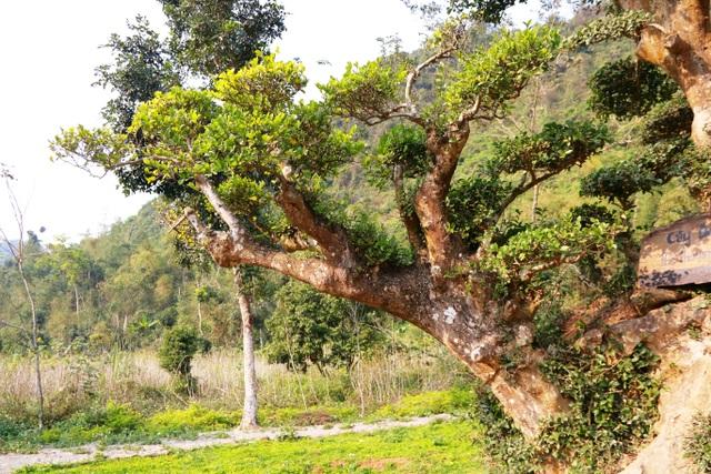 """Cây có dáng rất độc lạ giống với """"bàn tay phật"""" bởi thân chính và 3 thân phụ khác của cây mọc thẳng đứng nằm cạnh nhau như 4 ngón của bàn tay khi được chắp lại. Còn một nhánh mọc xiên và nghiêng về hướng khác (tượng trưng ngón trỏ lệch ra)."""