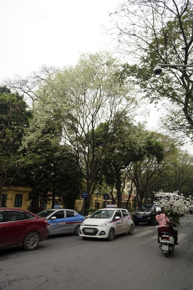 Một cây sưa gần như không nhìn thấy lá xanh, thay vào đó là hàng nghìn chùm hoa trắng tinh khiết.