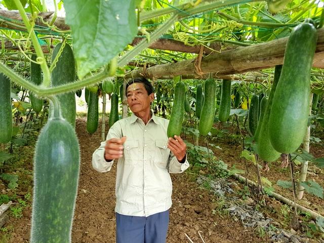 Ông Lê Văn Chín với vườn bí đao trĩu quả của mình