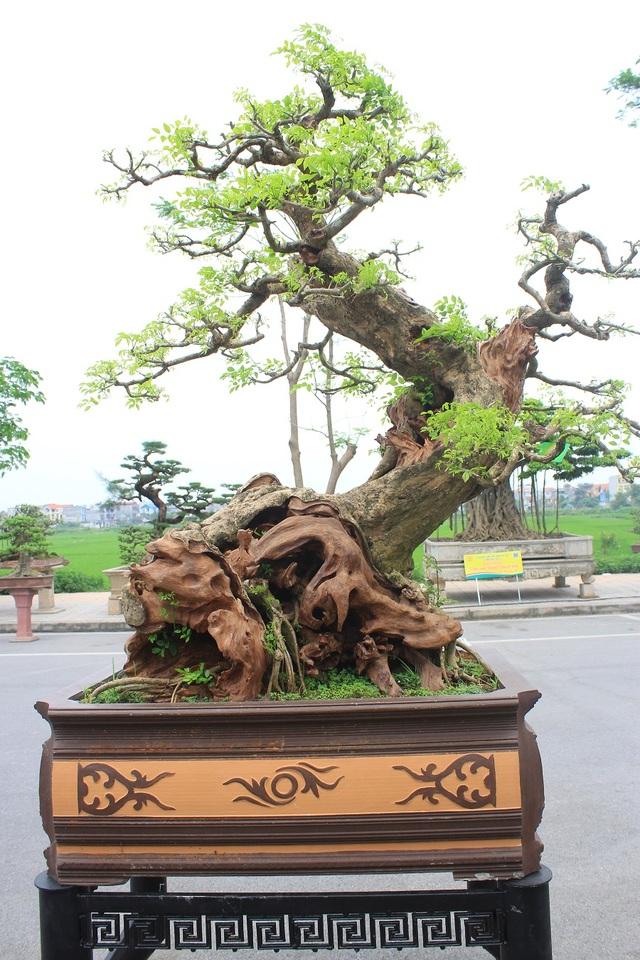 """Tác phẩm Nghinh phong của ông Hoàng Phúc Hải (Việt Trì - Phú Thọ). Đây là cây gỗ Trắc có tuổi đời vào khoảng 300 năm, có nguồn gốc từ Bình Định. Nhiều dân chơi sinh vật cảnh đánh giá cây thuộc vào """"hàng hiếm có, khó tìm"""" bởi gốc lũa tự nhiên, bố cục hài hòa, vừa toát lên vẻ mạnh mẽ lại mang dáng dấp uyển chuyển, tinh tế. Đặc biệt hơn cả, đây lại là cây gỗ Trắc Bonsai mọc trong chậu."""