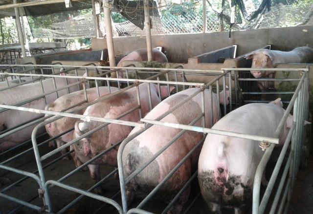 Theo người nuôi heo Bình Định, mỗi con heo người nuôi lỗ cả hơn 1 triệu đồng