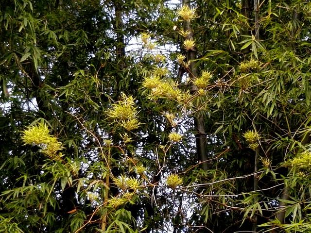 Hàng trăm hoa tre nở từ gốc đến ngọn