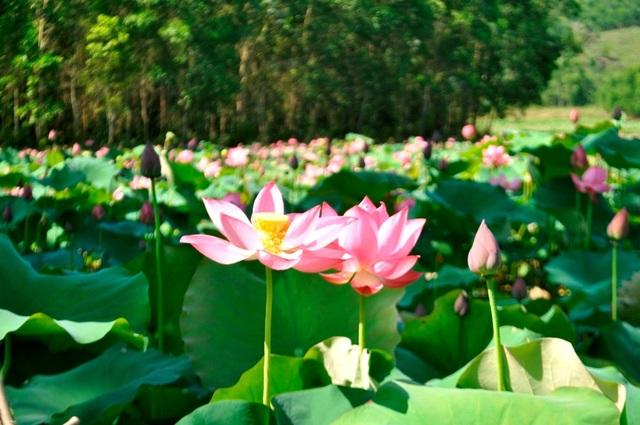 Hoa sen tinh khôi, dịu dàng