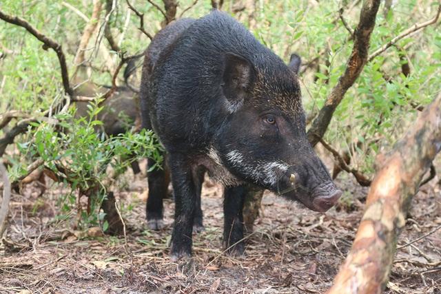 Mê mẩn đàn lợn rừng tiền tỷ ở miền biển - 14