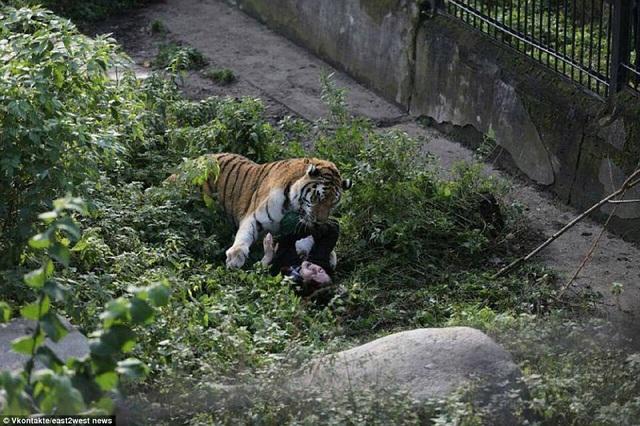Những du khách có mặt tại công viên ở thời điểm đó đã rất kinh hãi chứng kiến con hổ cái 16 năm tuổi có tên Typhoon bất ngờ nhảy lại tấn công người phụ nữ.