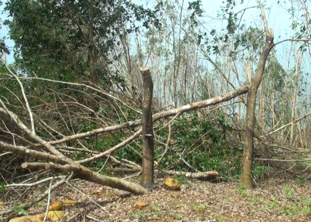 Nhiều diện tích cây cao su bị ngã đổ sau bão 12 khiến người trồng cao su ở Phú Yên trắng tay