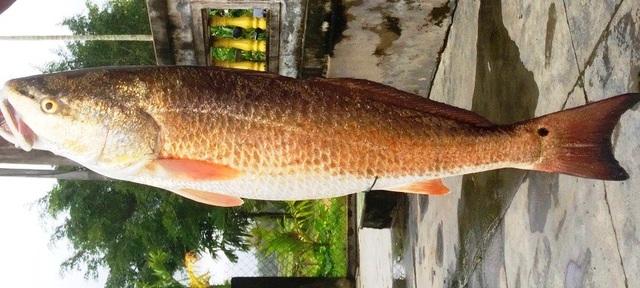 Con cá được cho là sủ vàng quý hiếm.