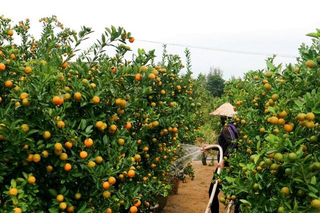 Các hộ dân đang tất bật chuẩn bị chăm sóc lại vườn quất để kịp giao cho khách