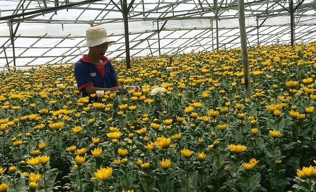 Những ngày cận Tết giá hoa cúc Đà Lạt tăng vọt