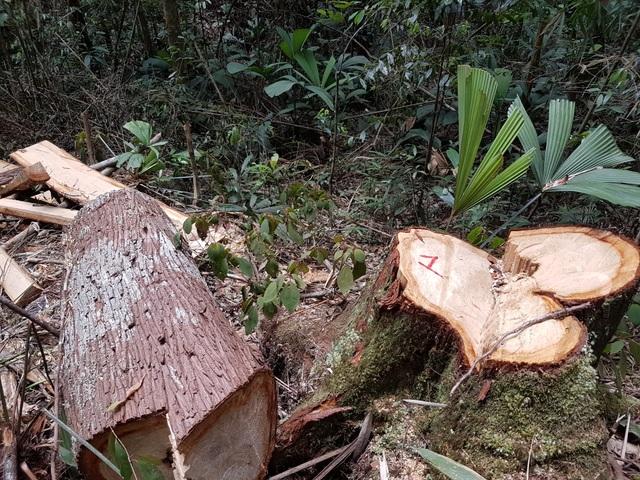 Hiện trường phá rừng pơmu ở vùng biên giới Việt Lào