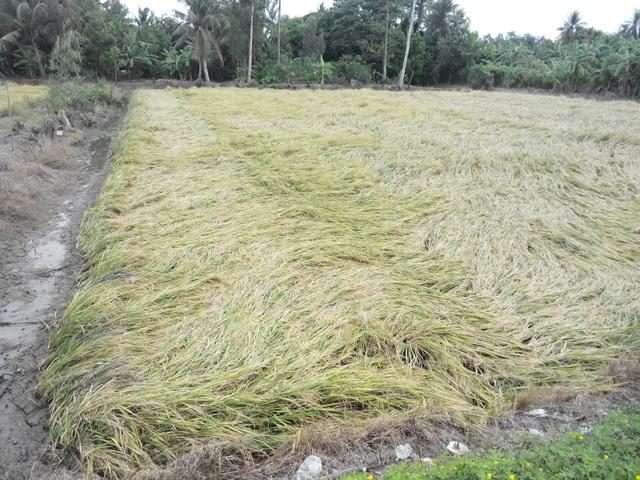 Với những diện tích lúa bị ngã thế này, người dân thuê người gặt lúa với giá từ 700.000 -800.000 đồng/công thay vì gặt máy chỉ 300.000đồng/công