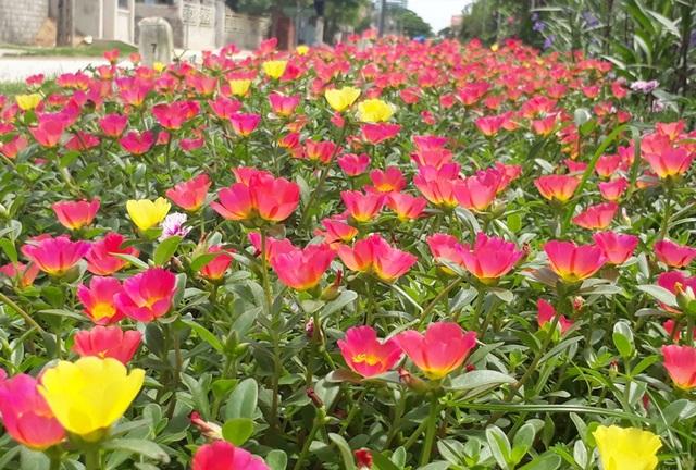 Những bông hoa thi nhau khoe sắc trên các đường làng ở xã Quảng Thái, huyện Quảng Xương
