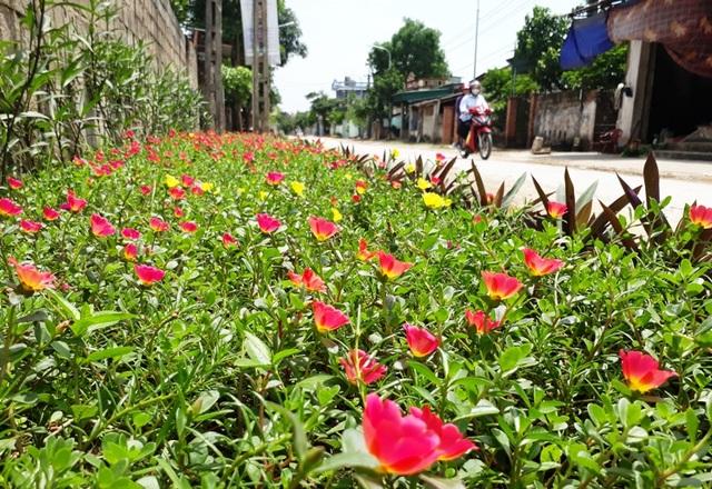 Giờ đây, trên các đường làng, ngõ xóm nơi các vùng quê Quảng Xương luôn ngập tràn sắc hoa