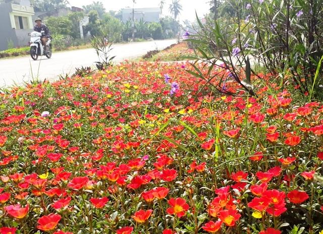 Những con đường ngập tràn sắc hoa giờ đây không còn là chuyện hiếm nơi các miền quê của huyện Quảng Xương