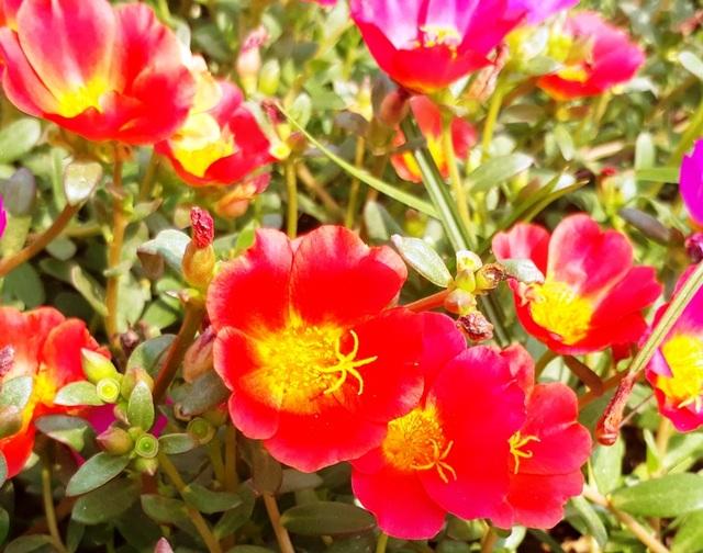 Những bông hoa thi nhau khoe sắc giữa nắng hè