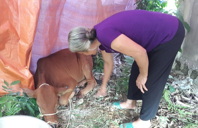 30 con bò vừa được cấp cho các hộ nghèo trên địa bàn huyện Hương Khê (Hà Tĩnh) bị phát hiện mắc bệnh lở mồm long móng
