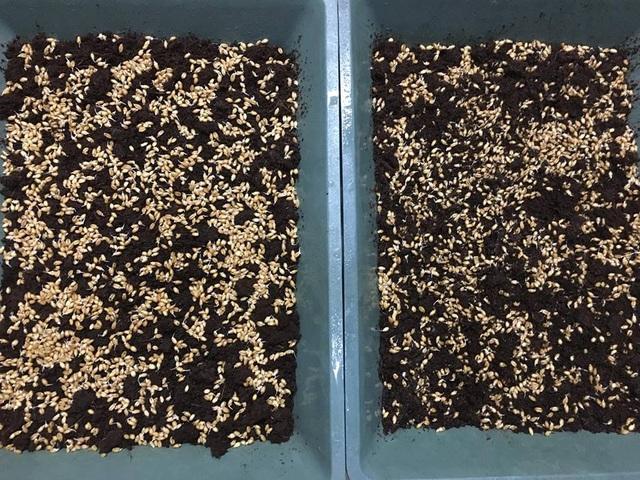 Trước khi gieo hạt cần ngâm hạt giống trong nước ấm khoảng 12 tiếng. Ảnh: Trần Trang
