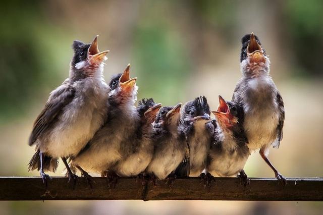 Đàn chim đang há miệng chờ mẹ bón ăn, trông giống như những ca sĩ đang cất tiếng hát trong một giàn hợp xướng. (Click vào đây để xem ảnh kích thước lớn)