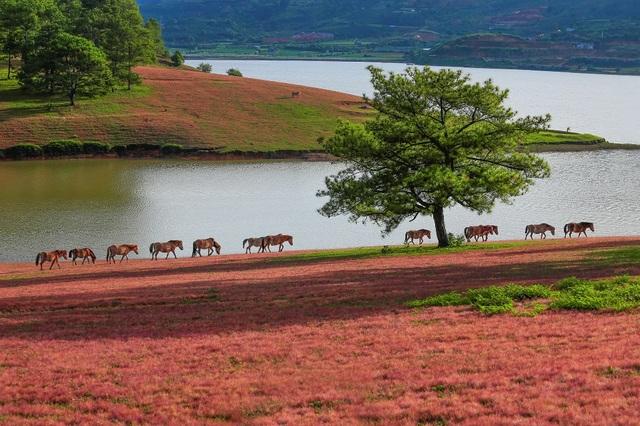 Chiêm ngưỡng mùa cỏ hồng đẹp như tranh vẽ ở Đà Lạt - 1