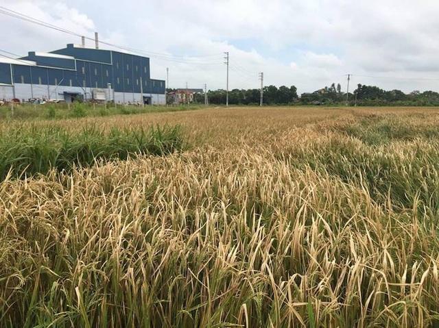 Lúa chết do ảnh hưởng khói đốt lò của Công ty TNHH Thạch Bàn.