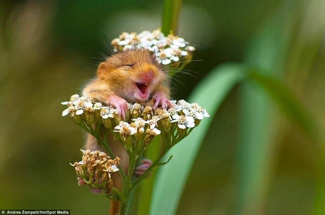 """Bức ảnh chụp một chú chuột sóc đang phấn khích khi đậu trên một cành hoa đã giành giải nhất ở hạng mục """"Trên cạn"""". Tác giả của khoảnh khắc này là Andrea Zampatti (32 tuổi) đến từ Monticelli, Ý. Anh đã chụp được chú chuột sóc khi leo lên ngọn núi Guglielmo."""