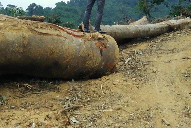 Những thân gỗ lớn đã được cưa, cắt