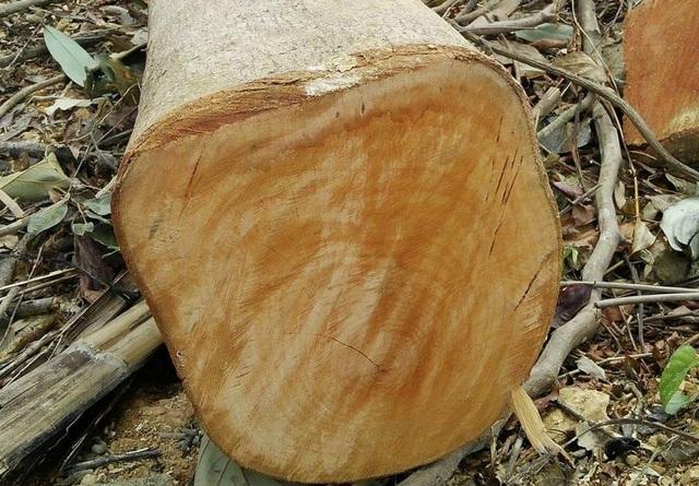 Nhiều cây có đường kính 30 - 40cm