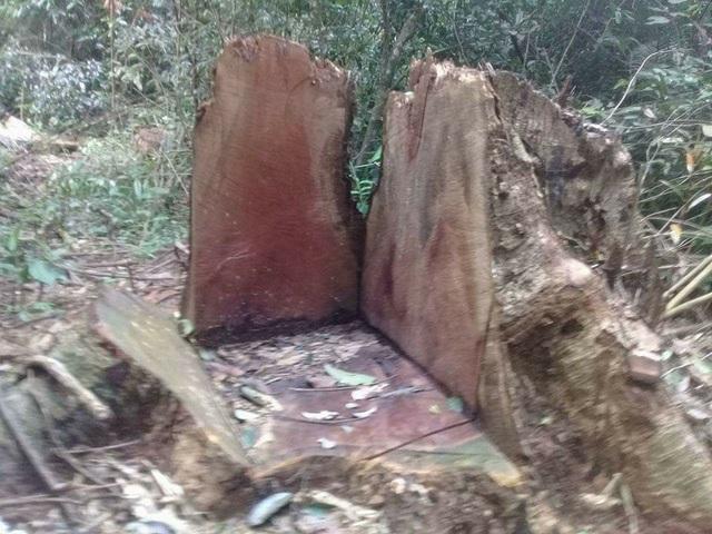 Những gốc cây bị cưa còn rất mới