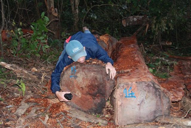 Nhiều thân gỗ có đường kính lớn bị đốn hạ (ảnh NH)