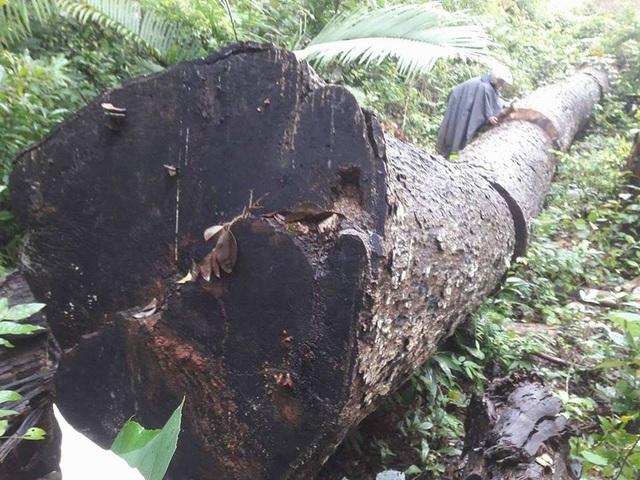 Cây gỗ khủng bị đốn hạ, cắt thành nhiều khúc