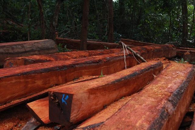 Số gỗ lớn được tập kết giữa rừng chờ vận chuyển