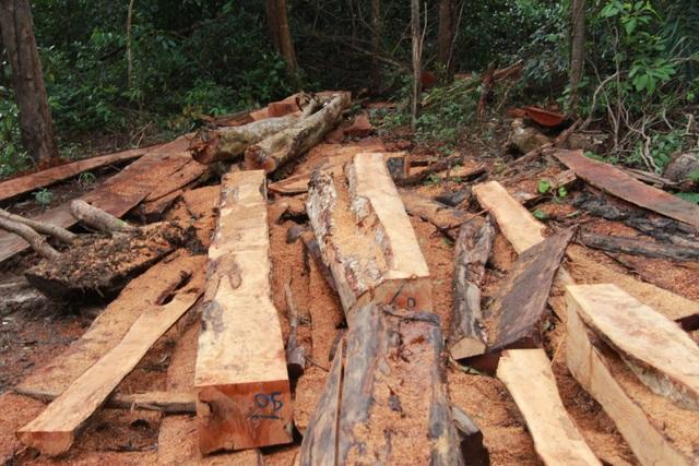 Số gỗ  mới bị khai thác, xẻ thành khúc giữa rừng (ảnh CTV)
