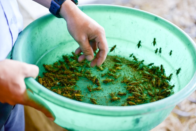 Dế được anh Kiên nuôi trong các thùng gỗ lớn, vừa là nguồn thương phẩm xuất ra thị trường vừa được anh tận dụng làm thức ăn cho bọ cạp, rắn mối, tắc kè…. Thời gian sinh trưởng của dế cũng rất nhanh, từ khi trứng đến khi nở là 9 ngày và sau 28 - 30 ngày nuôi là có thể xuất ra thị trường.