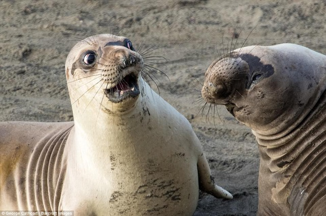 Bức ảnh của tay máy George Cathcart là một trong những khoảnh khắc ấn tượng hài hước được đánh giá cao, ghi lại khoảnh khắc một con hải cẩu đang sửng sốt. Ảnh chụp tại San Simeon, California, Mỹ.