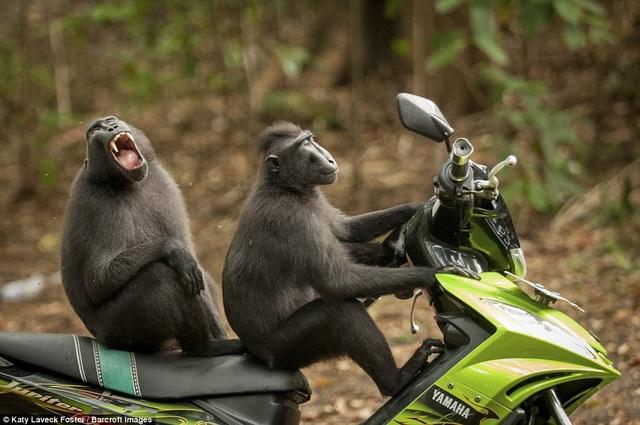 Nhiếp ảnh gia Katy Laveck Foster cũng được đánh giá cao với bức ảnh hài hước chụp hai con khỉ ngồi trên xe máy ở North Sulawesi, Indonesia.