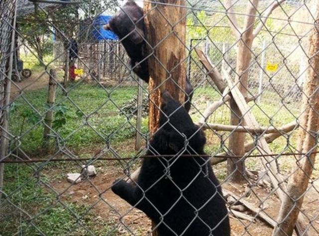 Trên địa bàn tỉnh Thanh Hóa còn 4 cá thể Gấu ngựa nuôi nhốt