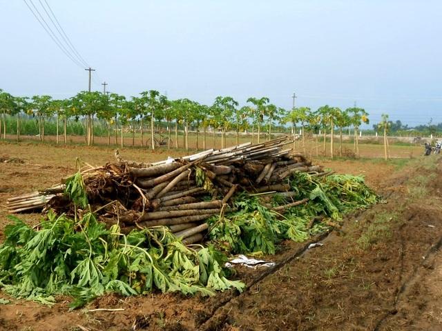 Đu đủ của bà con nông dân thôn Bàu Tròn, xã Đại An, huyện Đại Lộc, Quảng Nam bị hư hại nặng