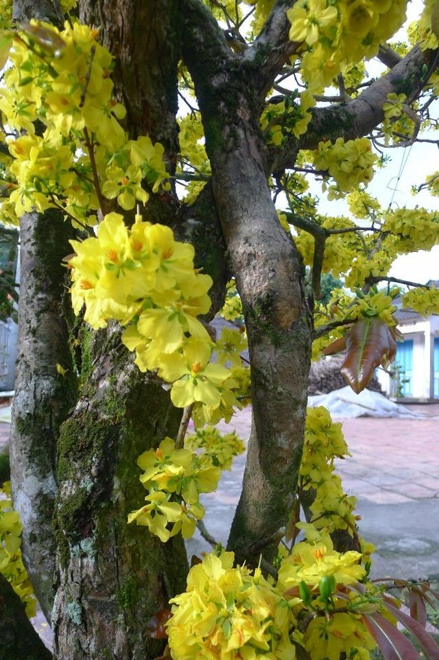 """Trầm trồ trước """"lão mai"""" gần 100 tuổi… cuồn cuộn nở hoa từ thân - 3"""
