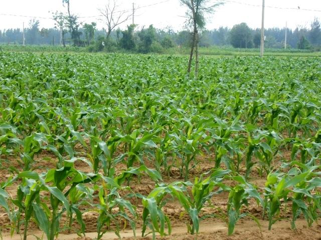 Do thiệt hại từ đợt lũ muộn vừa qua đã khiến nhiều ha bắp bị hư hại, hiện nay người dân mới trồng nên chỉ toàn bắp mới lớn