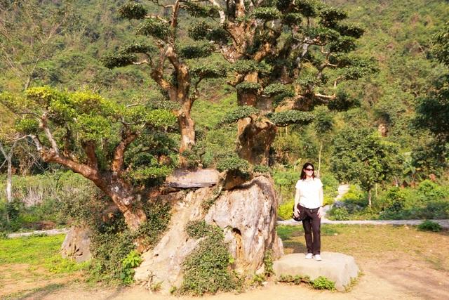 """Theo chị Phạm Lan Hương, nhân viên của vườn chim Thung Nham, từ khi được phát hiện đến nay dáng """"bàn tay phật"""" của cây duối vẫn được giữ nguyên. Những người thợ tỉa cây của đơn vị quản lý chỉ tỉa tán lá cho gọn lại chứ không hề tạo thế cho cây duối này."""