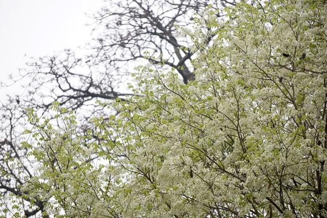 Hà Nội vào mùa hoa sưa trắng - 3