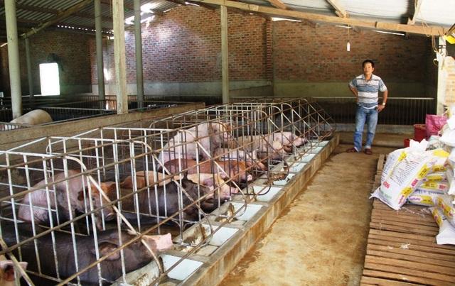 Giá heo hơi tại Bình Định bình quân chỉ 20.000 đồng/kg, khiến người nuôi heo lỗ nặng