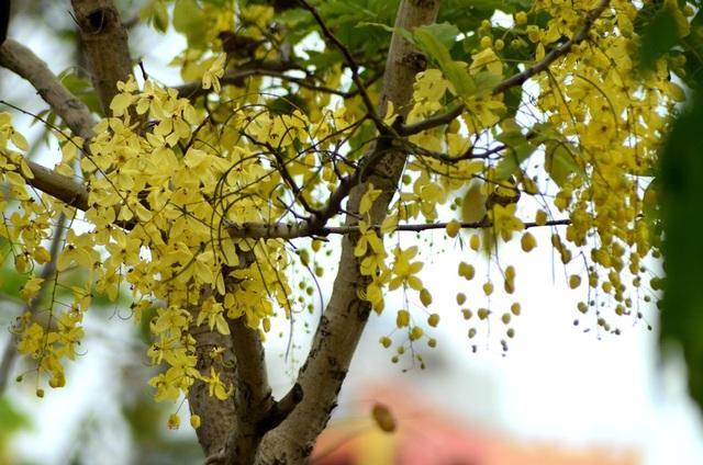 Cây Muồng Hoàng Yến thuộc chi Cassia là một trong số các loài cây nở hoa quanh năm. Cây có những chùm hoa vàng sáng rực rỡ và còn có tên gọi khác là bò cạp vàng. Ở Việt Nam, loại cây này xuất hiện nhiều ở Đồng Nai, TPHCM...