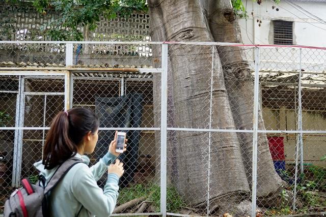 Cây Bao báp cao khoảng 15m, bộ gốc rất lớn có đường kính bằng 2 vòng tay của người lớn.